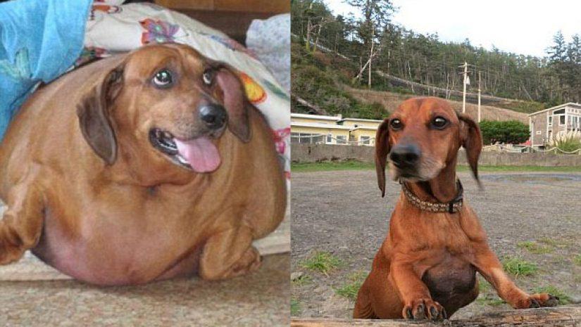 Cachorro perde mais de 22 kg para entrar em forma